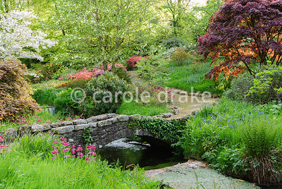 Prunus 'Shogetsu', dark acers and the handkerchief tree, Davidia involucrata, beside the Addicombe Brook that runs down from Dartmoor and through the garden edged with  moisture loving plants including Primula pulverulenta. Lukesland, Harford, Ivybridge, Devon, UK