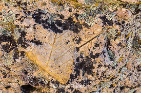 Fossil Hackberry Leaves in the Clarno Unit of John Day Fossil Beds National Monument, Oregon, USA