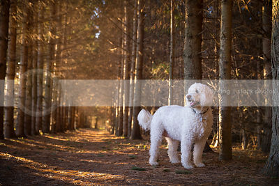 fat white mixed breed dog standing in pine forest with sunshine