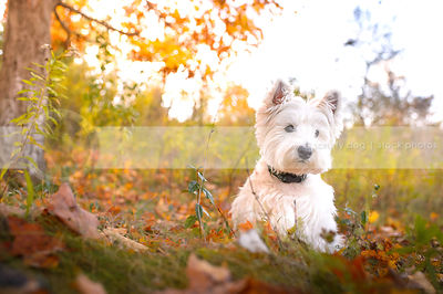 groomed white west highland terrier dog sitting in autumn sunshine