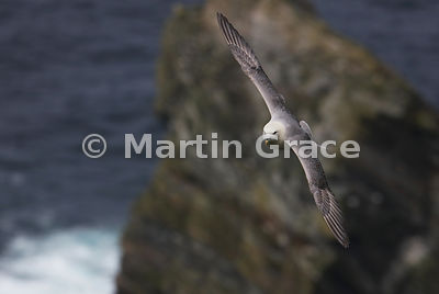 Northern Fulmar (Fulmarus glacialis) in flight, Hermaness National Nature Reserve, Unst, Shetland