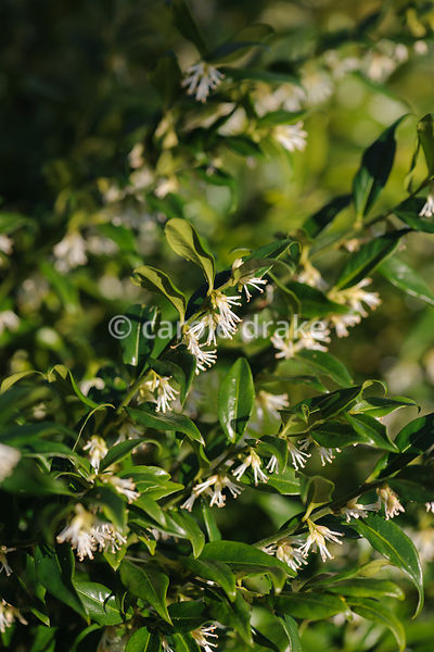 Sarcococca confusa, AGM. Sir Harold Hillier Gardens, Ampfield, Romsey, Hants, UK