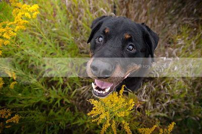 black and tan rottweiler dog looking upward from flowers