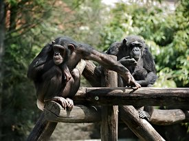 Chimpansees | Chimpanzees