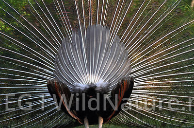 Indian peafowl/Påfugl - Sri Lanka