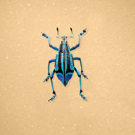 2Bug_Weavil_0677_wheat
