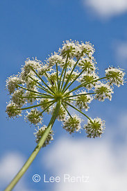 Umbel of Flowers of Kneeling Angelica in Olympic National Park