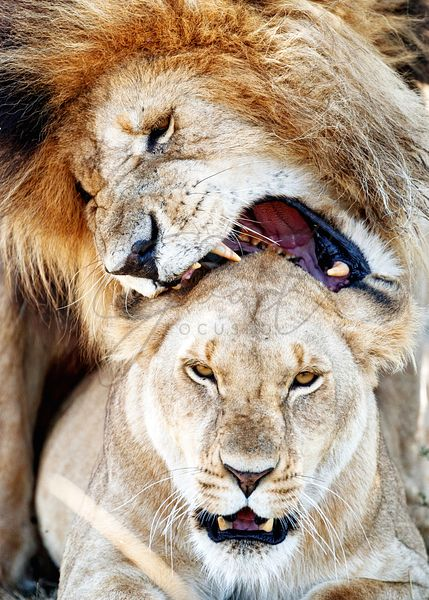 Closeup Lions Love Bite While Mating