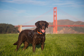 Chocolate Labrador Retriever Standing in Front of Golden Gate Bridge