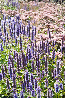 Agastache 'Blue Fortune' with Sedum 'Matrona'. RHS Garden Wisley, Woking, Surrey, UK