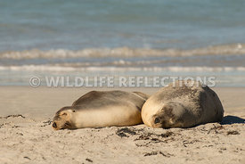 sea_lion_australian_two_nap-2