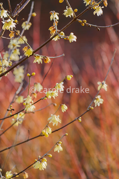 Chimonanthus praecox 'Maruyama'. Sir Harold Hillier Gardens, Ampfield, Romsey, Hants, UK