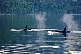 Vancouver_Island_Whales