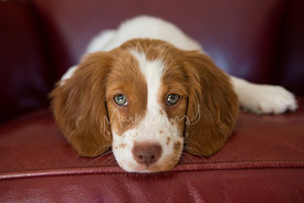 Cute spaniel puppy on red chair close-up