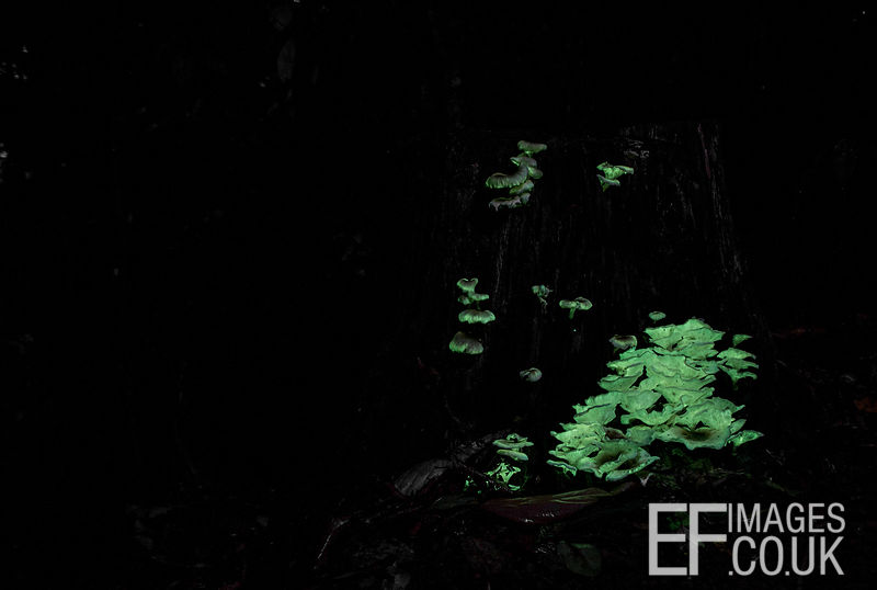 Glowing Mushrooms On A Dead Tree Stump In Far North Queensland