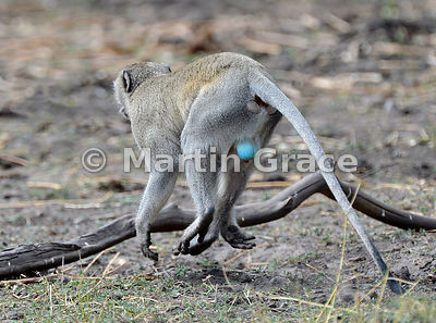 Male Vervet Monkey (aka Grivet or Green Monkey) (Cercopithecus aethiops) showing his characteristic blue scrotum, River Chobe, Botswana