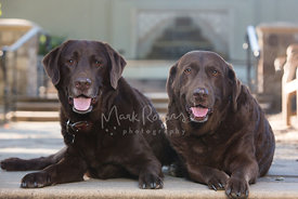 Two Smiling Chocolate Labs Lying Down Next To Each Other