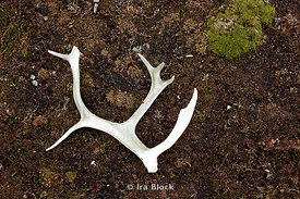 A found male caribou antler on the Edgeoya island in Norway.