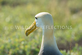 waved_albatross_espanola-55