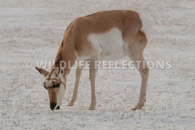 pronghorn_snow_doe_grazing0220130119_