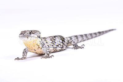 Depp's arboreal alligator lizard (Abronia deppii) photos