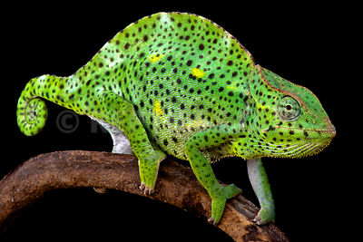 Usambara Giant Three-Horned Chameleons (Trioceros deremensis) photos