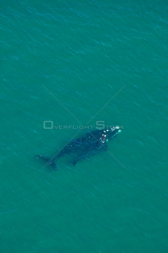 Aerial view of Southern right whale (Eubalaena australis / Balaena glacialis australis) mother and calf. Valdes Peninsula, Patagonia, Argentina, Oct 2008