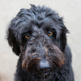 Sad Black Goldendoodle face close-up