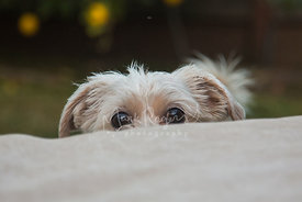 Terrier peeking over cushion with eyes and ears showing