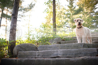 soft coated wheaten dog standing on stone steps in natural setting