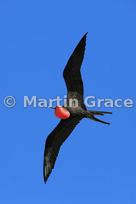 Male Great Frigatebird (Fregata minor ridgwayi) in flight with his red gular pouch inflated to attract a female, Darwin Beach, Genovesa, Galapagos Islands