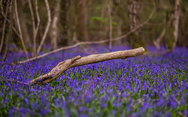 Bluebell_2016_April_047