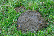 Pile of cow excrement with flies on in grass. UK.