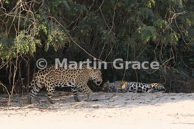 Female Jaguar 'Hunter' lies down and is approached by male 'Hero' (Panthera onca), Three Brothers River, North Pantanal, Mato Grosso, Brazil. Image 10 of 62; elapsed time 10mins