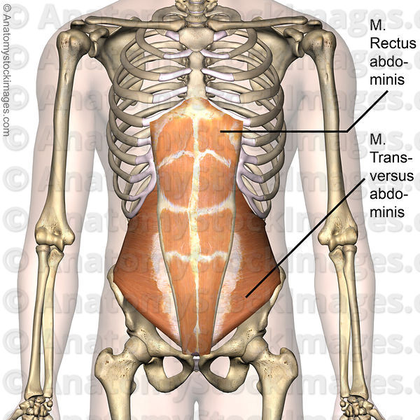 Picture of torso anatomy
