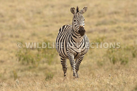 zebra_walking_forward_plains201102