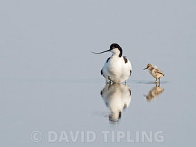 Pied Avocet Recurvirostra avosetta brooding two day old chicks North Norfolk May