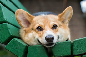 Smiling corgi laying on a bench