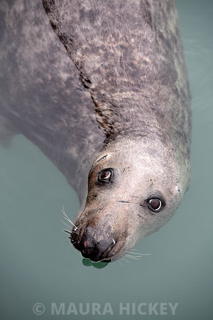 Seal, Dun Laoghaire Harbour..31.01.17.Picture: Maura Hickey.
