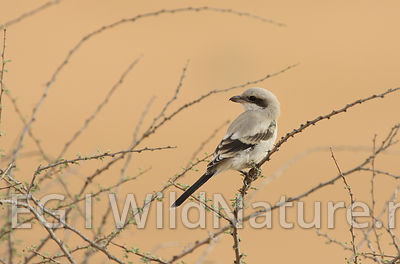 Steppe-grey shrike/Steppekrattvarsler - UAE