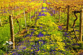 Flowers in North East Vineyards