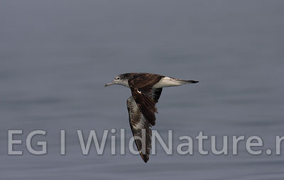 Streaked shearwater/Hvitpannelire - South Korea