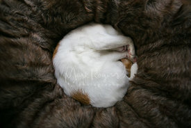 Domestic shorthair cat sleeping on plush bed