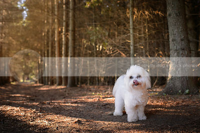 small white havanese dog standing in a pine forest licking lips