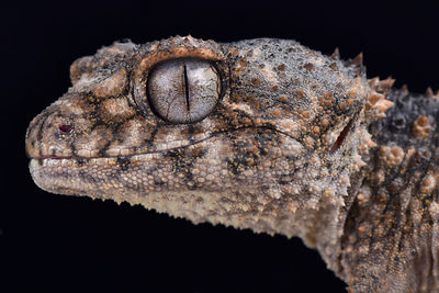 Prickly knob-tailed gecko (Nephrurus asper) photos
