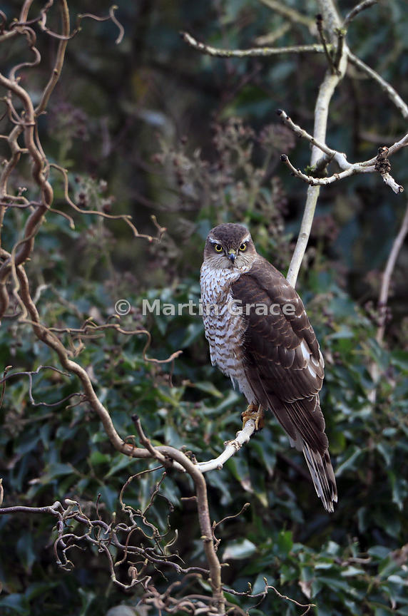Juvenile male Eurasian Sparrowhawk (Accipiter nisus) perching on a branch in an overgrown corner of a Lake District garden, Cumbria, England