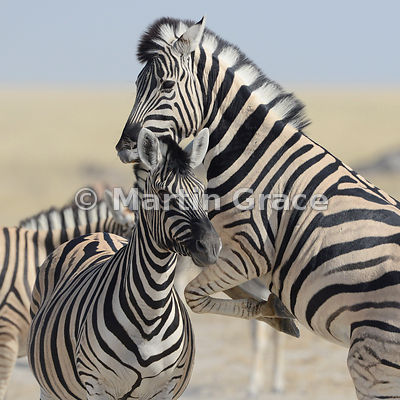 Plains Zebra (Equus burchellii) attacking another, Etosha National Park, Namibia