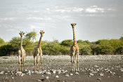 Giraffes looking