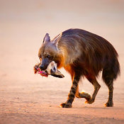 Brown hyena with bat-eared fox in mouth