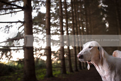 closeup headshot of beautiful white hound dog in forest